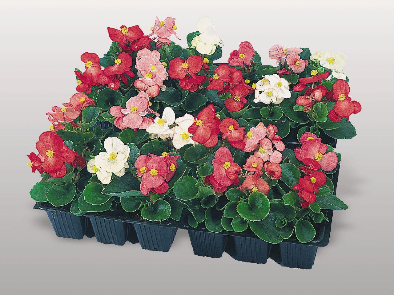begonia Coloque essa plantas em um ambiente longe do sol e do vento. Possui folhas coloridas, vistosas e variadas.