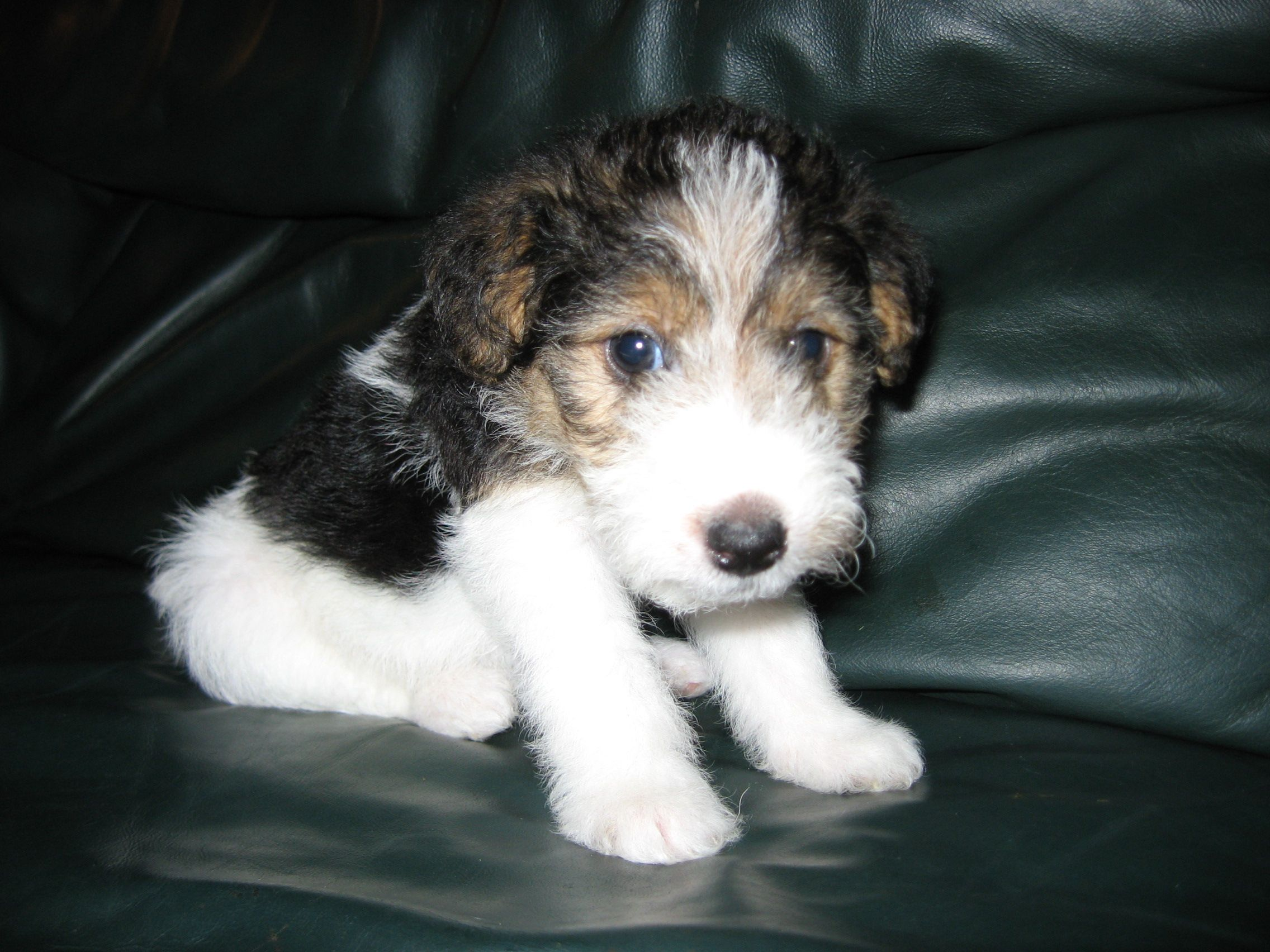 Baby! Wire Haired Fox Terrier - i wish willis was this small again ...