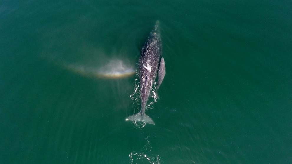 Ballena gris en la laguna Ojo de Liebre en Baja California Sur. | 32 Imágenes aéreas que te enamorarán por completo de México