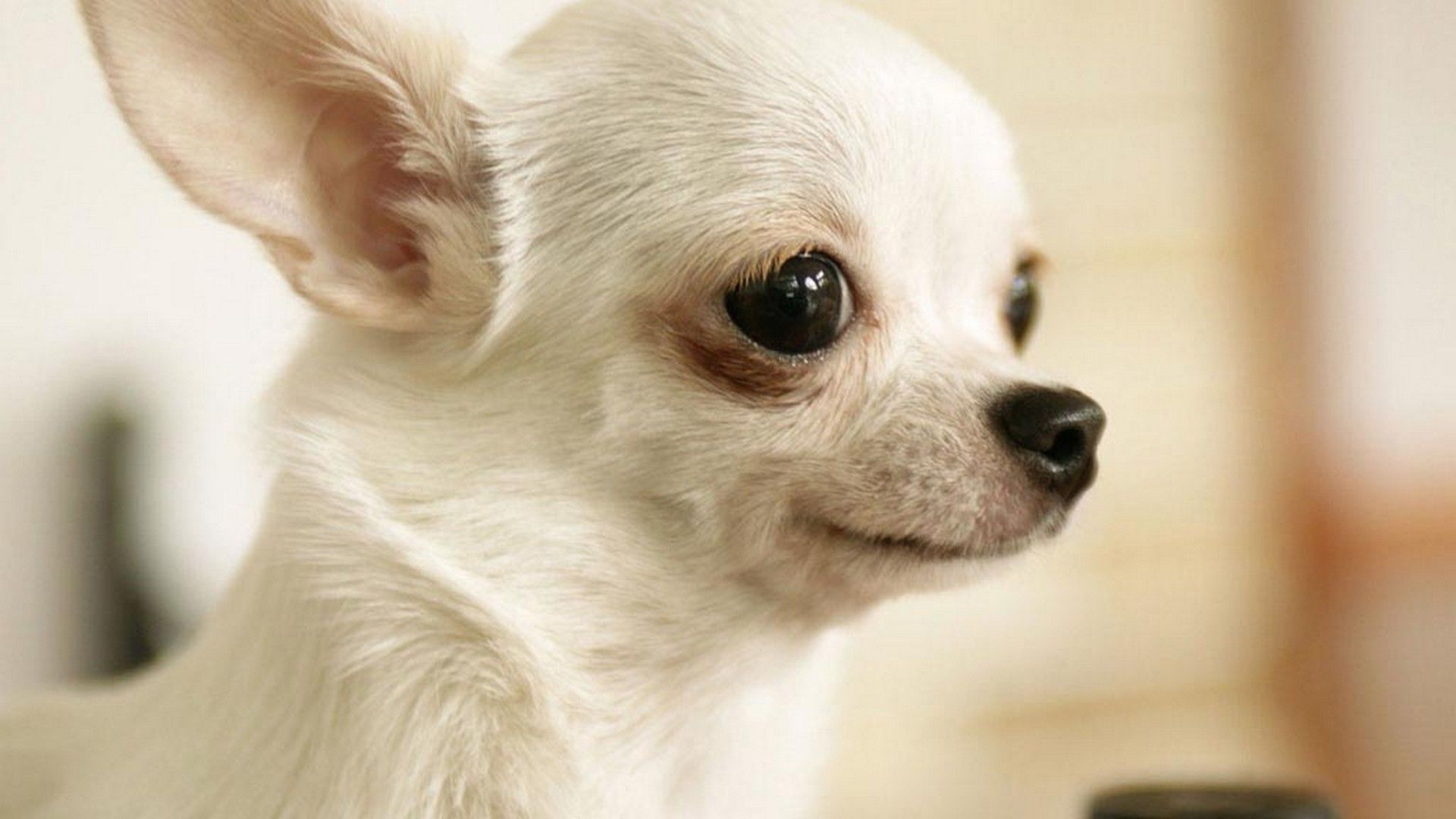 Puppy Desktop Wallpaper Best Hd Wallpapers Chihuahua Dog Pictures Chihuahua Chihuahua Dogs