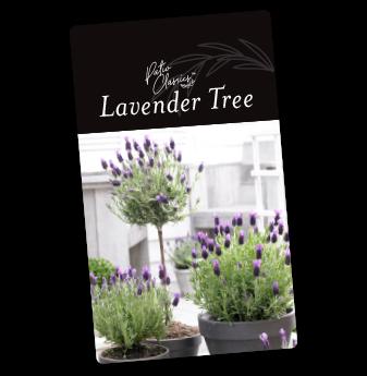 lavender patio tree grow things