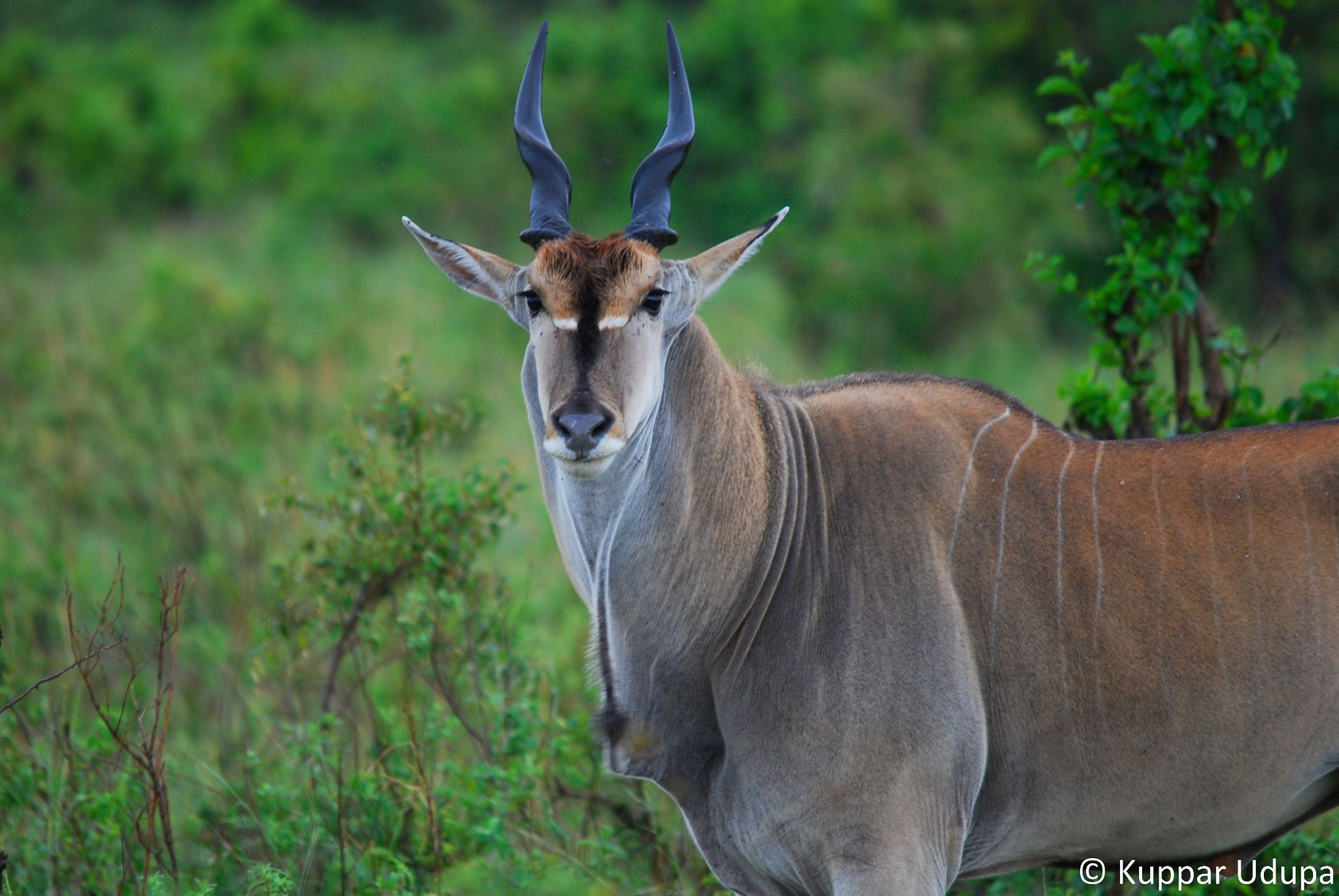African antelope is an amazing animal of the hot continent