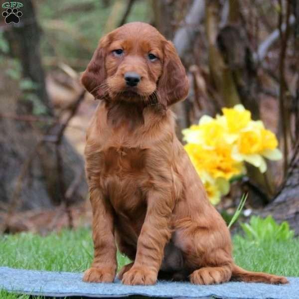 Spiffy Irish Setter Puppy For Sale in Pennsylvania