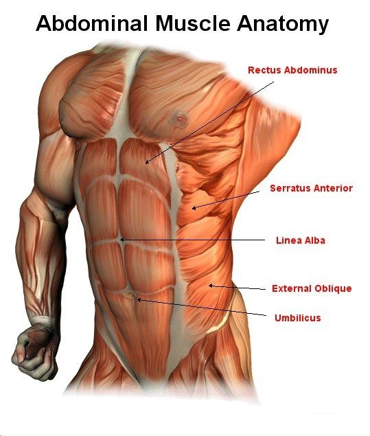 Male Abdominal Muscle Anatomy | Workout Illustrations | Pinterest ...