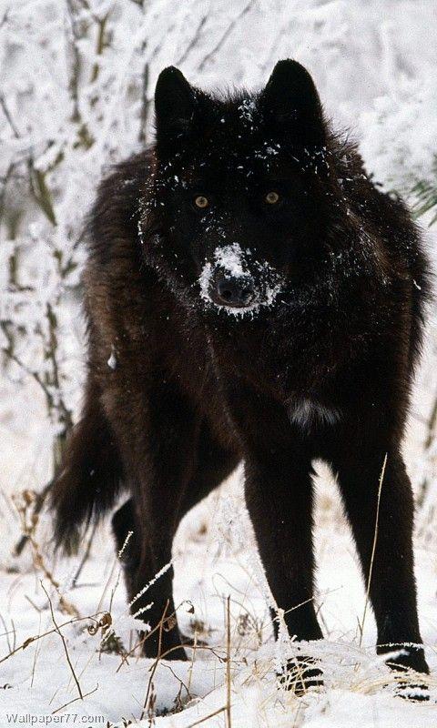 Black Wolf Melanistic Animals Black Wolf Wolf Dog