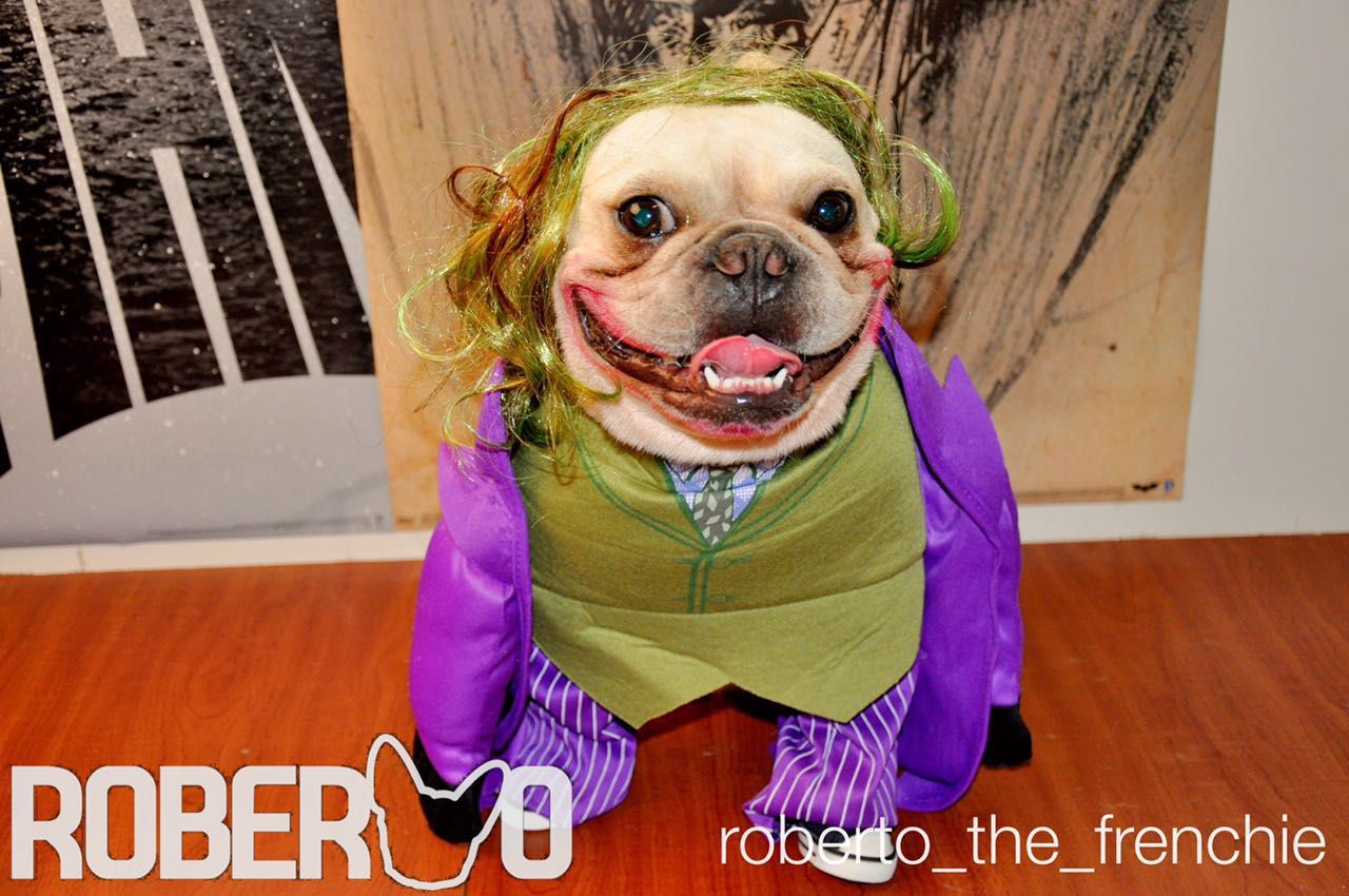 Idea By Erica Bradley On Joker Dog Costume Dog Halloween Dog