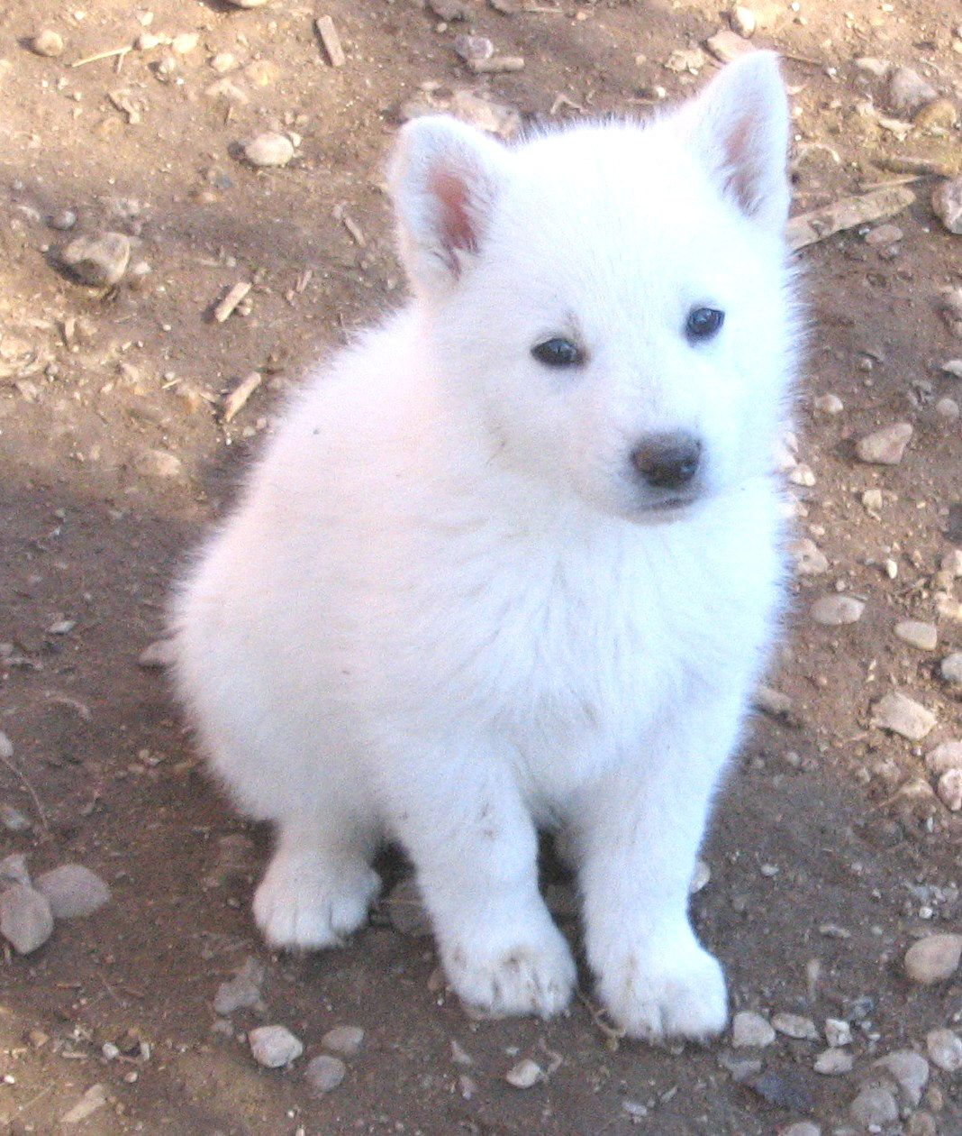 White German Shepherd Puppy Atlcomputerdude Animals Are In Need