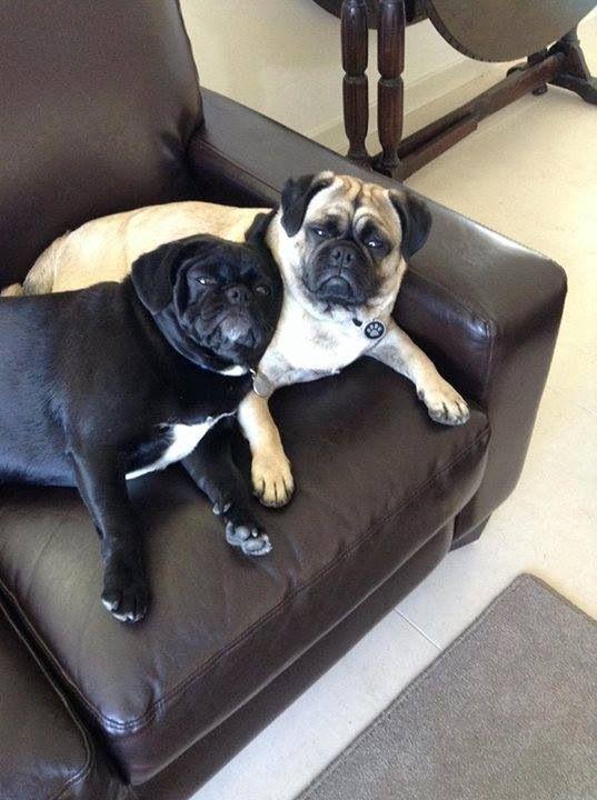 Pugs they look so unimpressed haha Pugs, Pug love, Pug dog