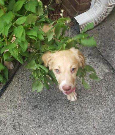 Found Dog Golden Retriever Atlanta Ga United States Dogs
