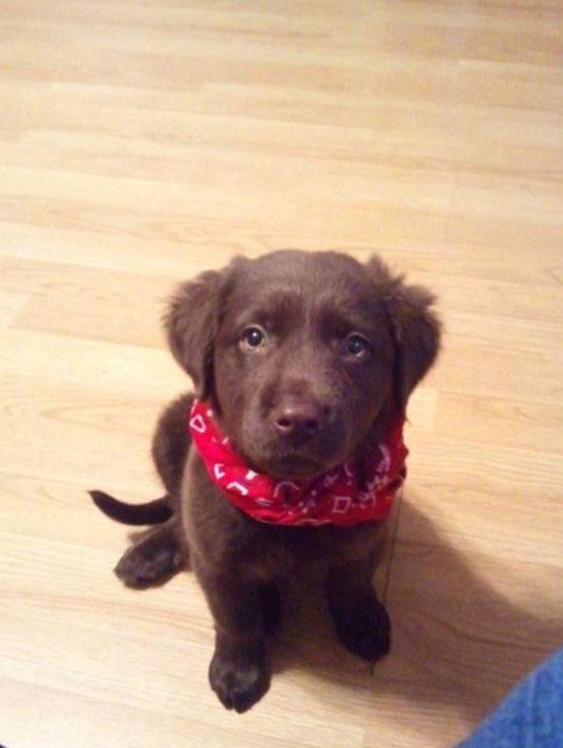Chocolate lab/golden retriever mix :) | Puppy love ...