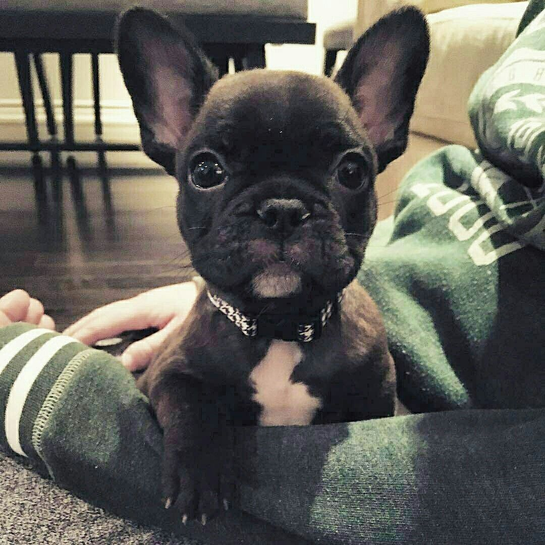 Pin By Elizabeth Myles On Bostons And French Bulldogs Baby Dogs Bulldog Puppies French Bulldog Puppies