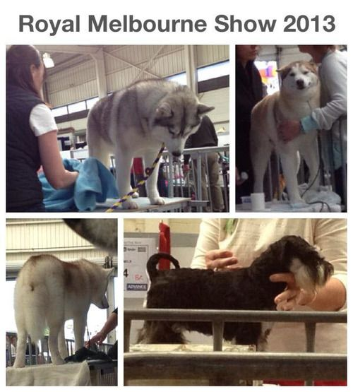 Siberian Huskies And Schnauzers Getting Groomed For Exhibition At
