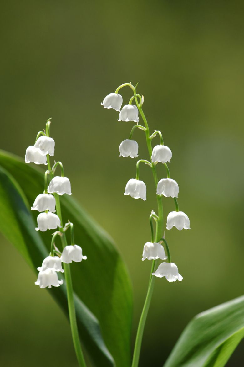 Pearl Twigs Fragrant Lily Of The Valley By Sonja Cvorovic