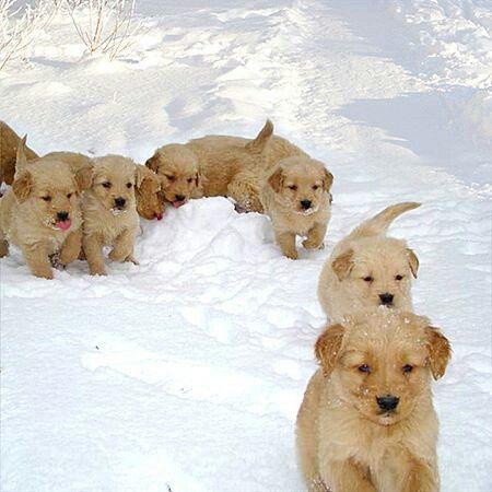 Golden Retriever Puppy In The Snow Cute Dogs Cute Little