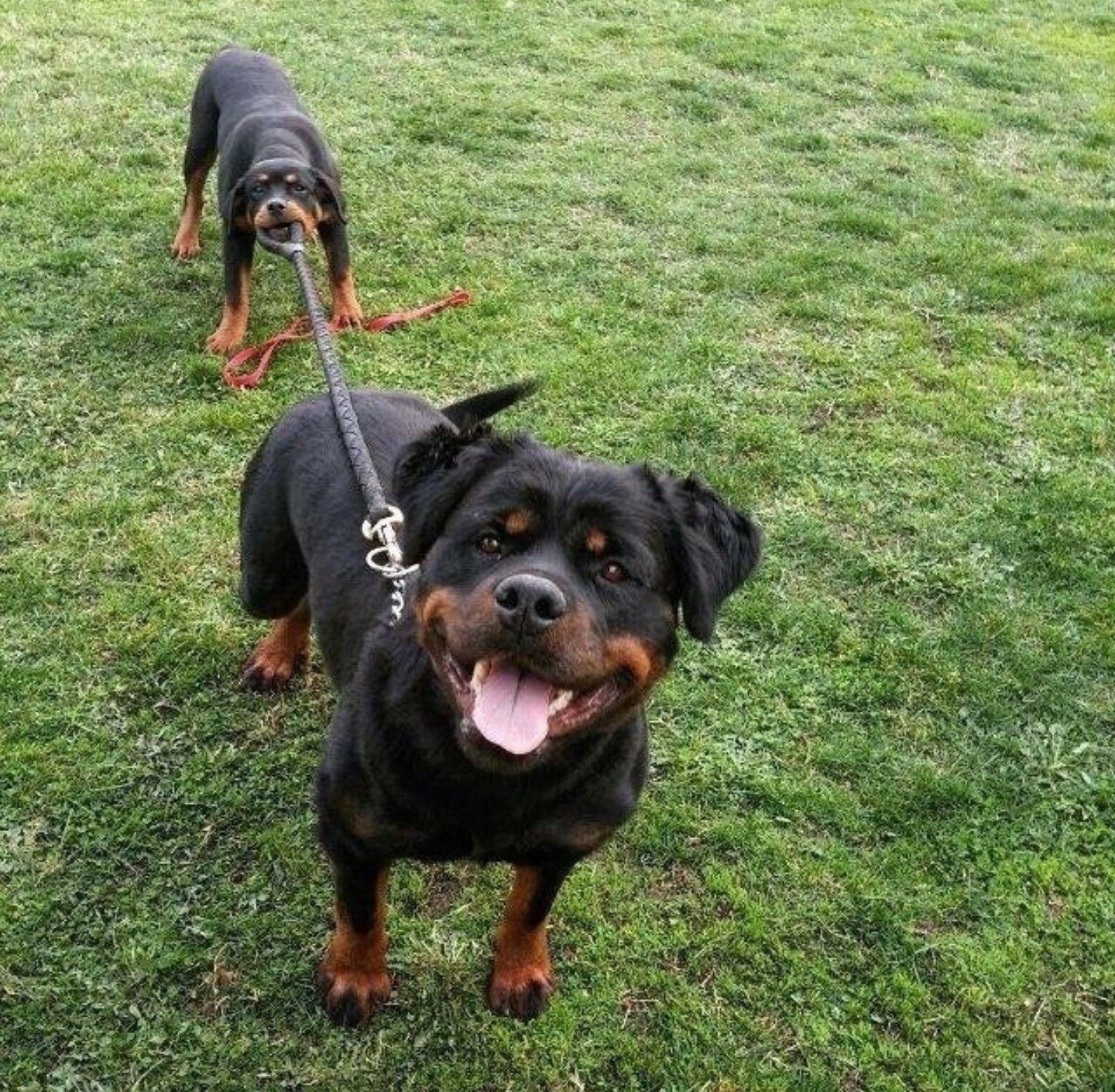They Re Actually Everywhere More Than Likely Since They Are 2 Of The Most Popular Pet Dog Types In America According T Rottweiler Lovers Dogs Rottweiler Funny