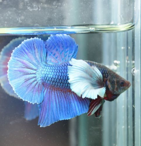 Pin by Smiling Pinster on Beautiful Betta's Betta, Fish