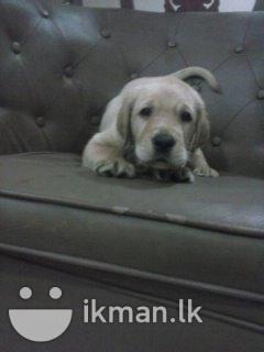 Labrador Retriever In Advertising Google Search Labrador
