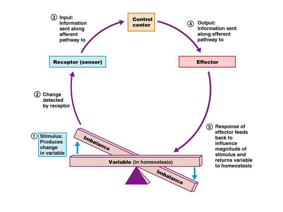 Anatomy And Physiology Physiology Anatomy And Physiology Human Anatomy And Physiology
