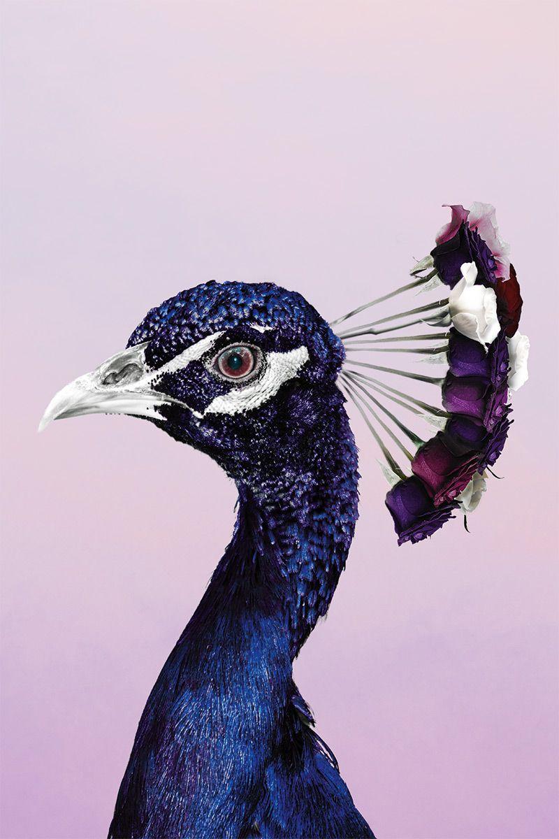 Purplish peacock wall art poster available on aluminum plexiglass