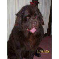Puppies For Sale Newfoundlands Newfs Newfies In Mount Morris Michigan Yorkie Puppy Newfoundland Newfoundland Dog