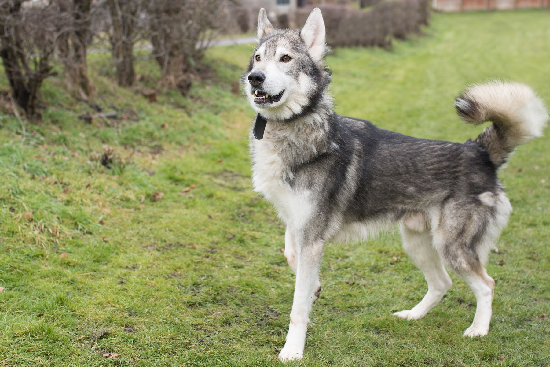Northern Inuit Male 8 Years 6 Months Old Available Kodi Is