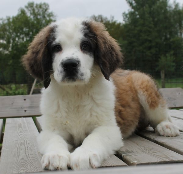 Mix Golden Retriever St Bernhard Didn T Know There Was This Kind