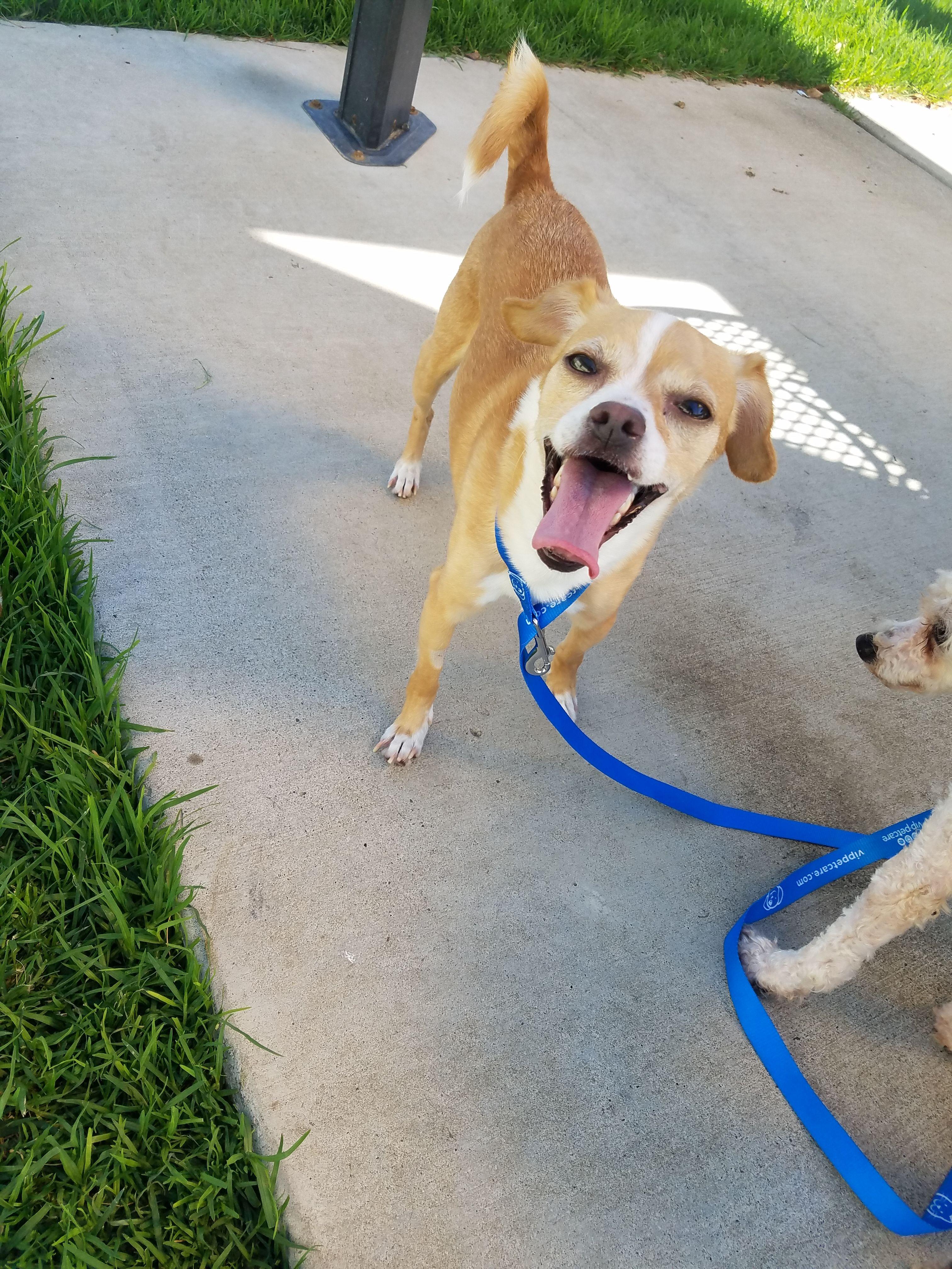 Jack Chi Dog For Adoption In Vacaville Ca Adn 141248 On Puppyfinder Com Gender Female Age Young Chi Dog Dogs Adoption