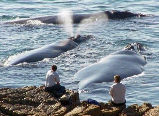 Whale Watching In Hermanus Western Cape South Africa