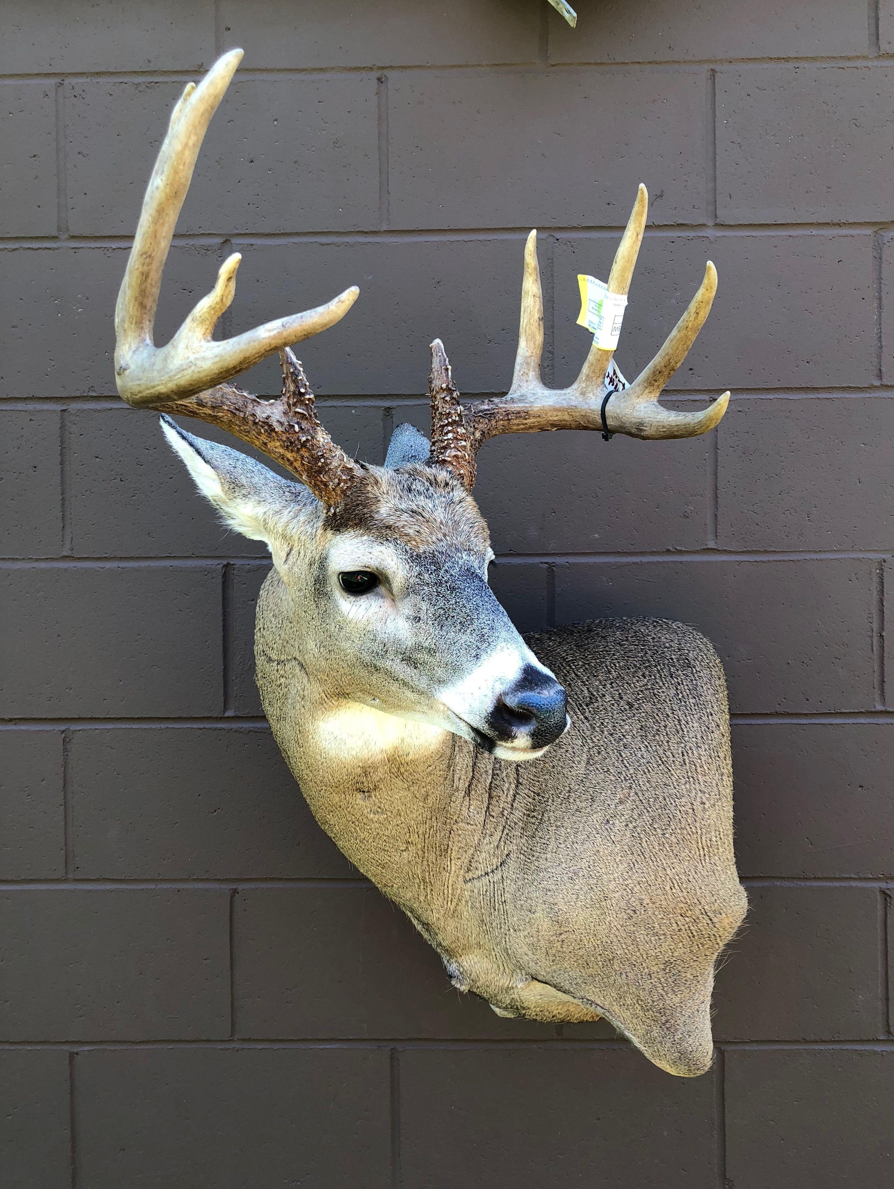 Mule Deer Wall Pedestal By Peyser Taxidermy Deer Wall Deer Mounts Mule Deer