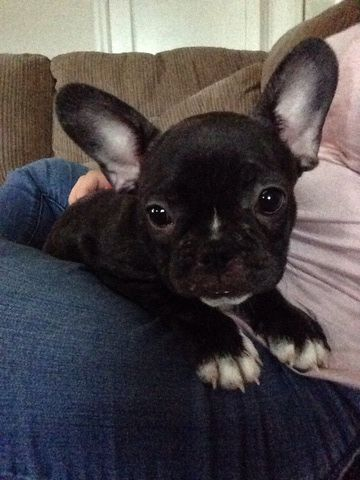 French Bulldog Puppy For Sale In Arlington Va Adn 31453 On