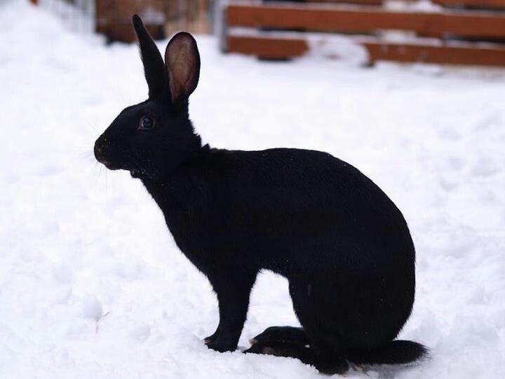 Belgium hare