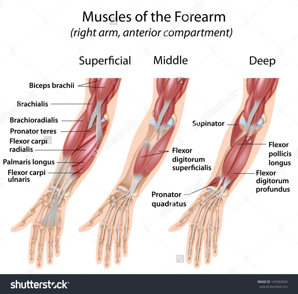 Wrist And Hand Unlabeled Diagram Desk Fan Wiring Flexors Muscles Pronator Supinator