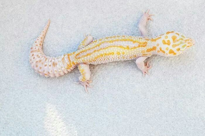 W Y Mack Raptor Geckomania Geckos Uk Gecko Leopard Gecko