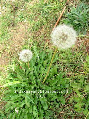Dandelion Randa Tapak Dandelion Bunga