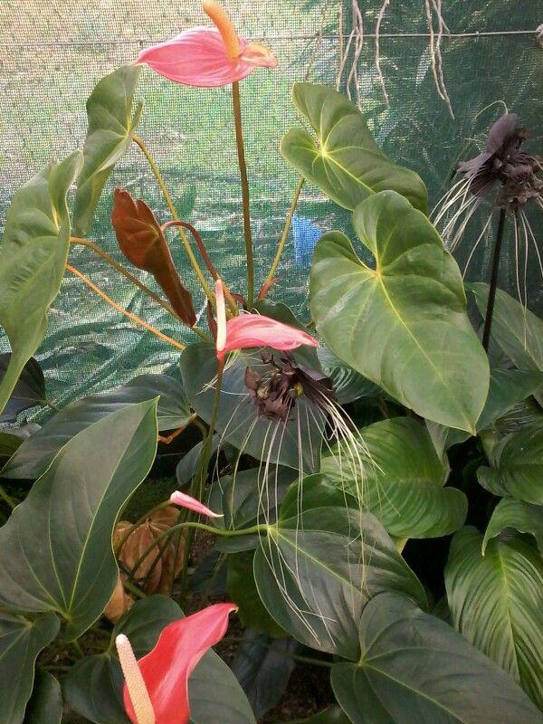Anthurium contre chauve-souris
