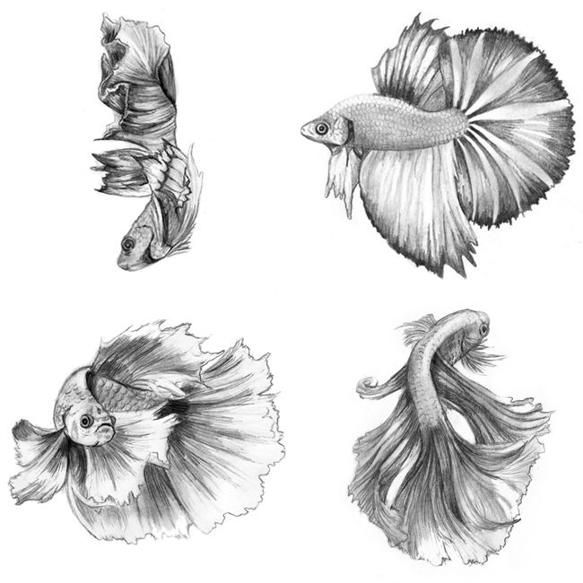 Siamese Fighting Fish 2014 Pencil On Card Stock 4 X 6 Inches Each Animals Art Betta Drawing Sketch Traditio Fish Sketch Betta Tattoo Beta Fish Drawing