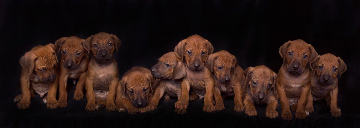 Ridgeback Pups Rhodesian Ridgeback Puppies Puppies Rhodesian