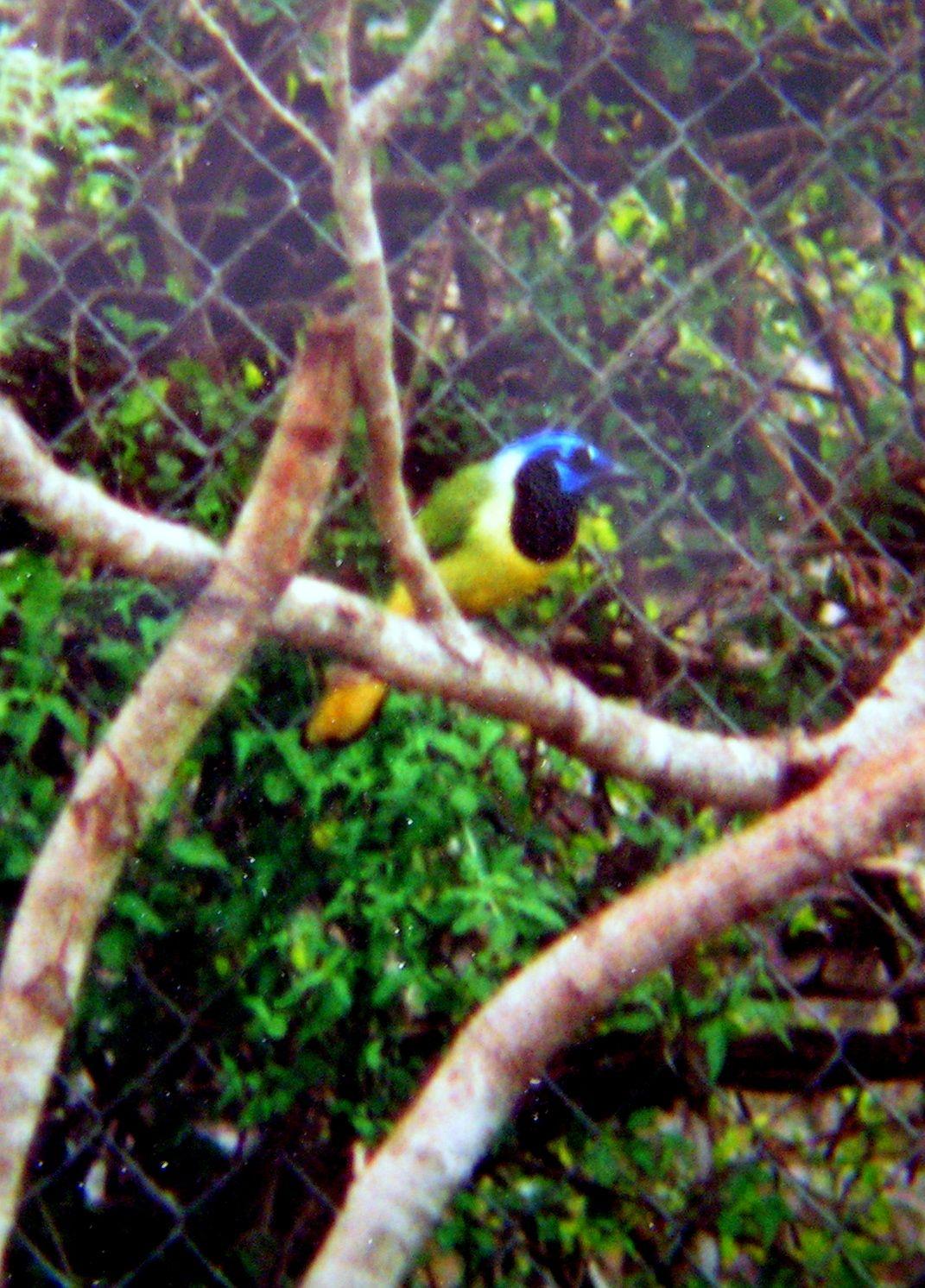 #Green Jay.  Feb 19, 1994                         *Laguna Atascosa NWR, TX w/ Jan Photo TRD - 591. Green Jay. Bentsen-Rio Grande St Pk, feb 19, 1994.