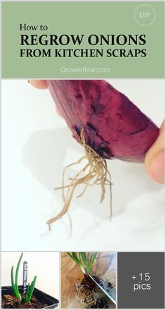 Sharing Step By Step How I Regrow My Onions From Kitchen Scraps Into Full Sized Onions Growing Vegetables Indoor Vegetable Gardening Veggie Garden