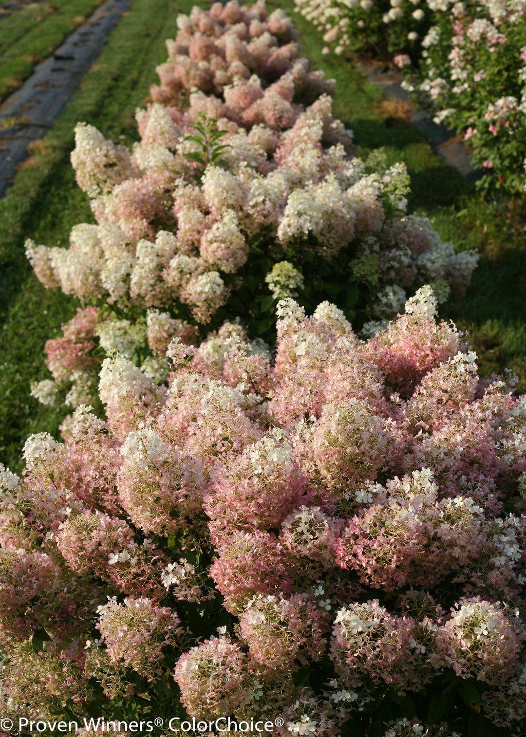 Bobo Hardy Hydrangea Hydrangea Paniculata Hydrangea Landscaping Bobo Hydrangea Hydrangea Garden