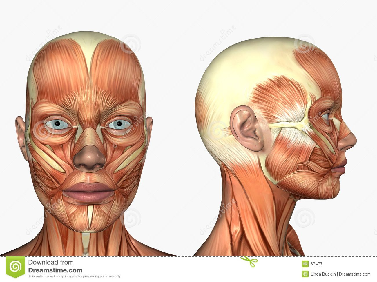 Lateral Side Facial Face Muscles Stock Photo - Image ...