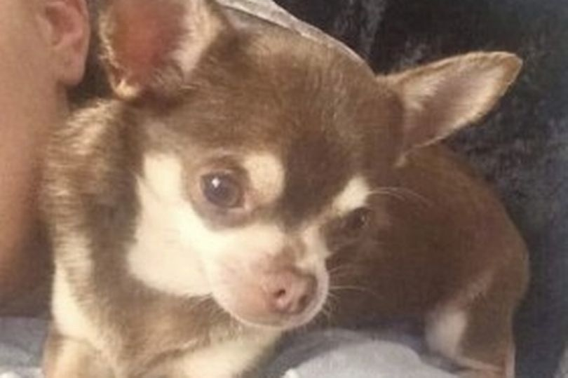 Seagull Snatches Chihuahua From Garden Leaving Dog S Owner