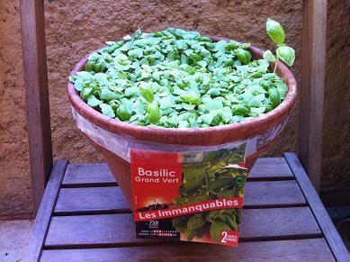 faire pousser du basilic en pot basilic pot jardinage