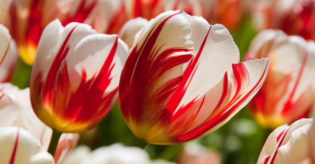 https://flic.kr/p/6hMo5d   Tulips