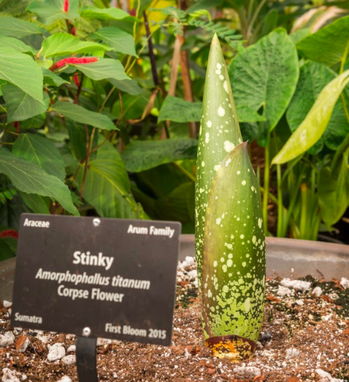 Stinky The Corpse Flower Could Bloom For Second Time At Denver Botanic Gardens Corpse Flower Denver Botanic Gardens Botanical Gardens
