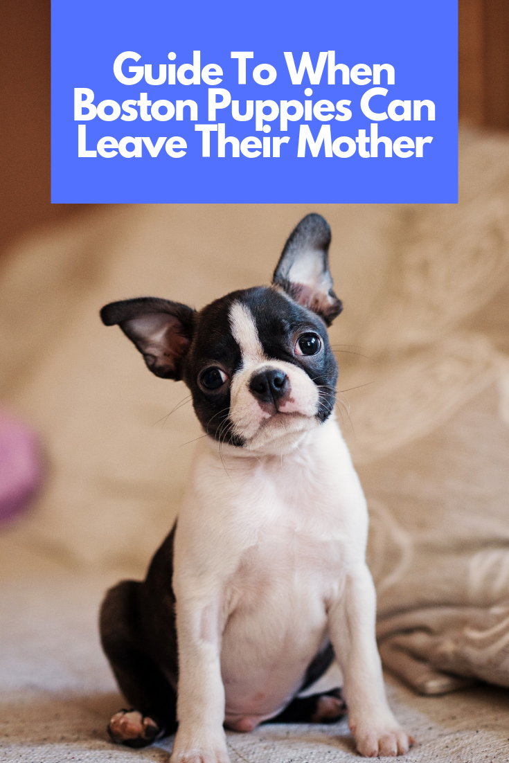 When Can Boston Terrier Puppies Leave Their Mom? Boston