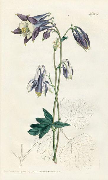 William Curtis Botanical Prints 1787 1826 Botanical Drawings Botanical Illustration Vintage Vintage Botanical Prints