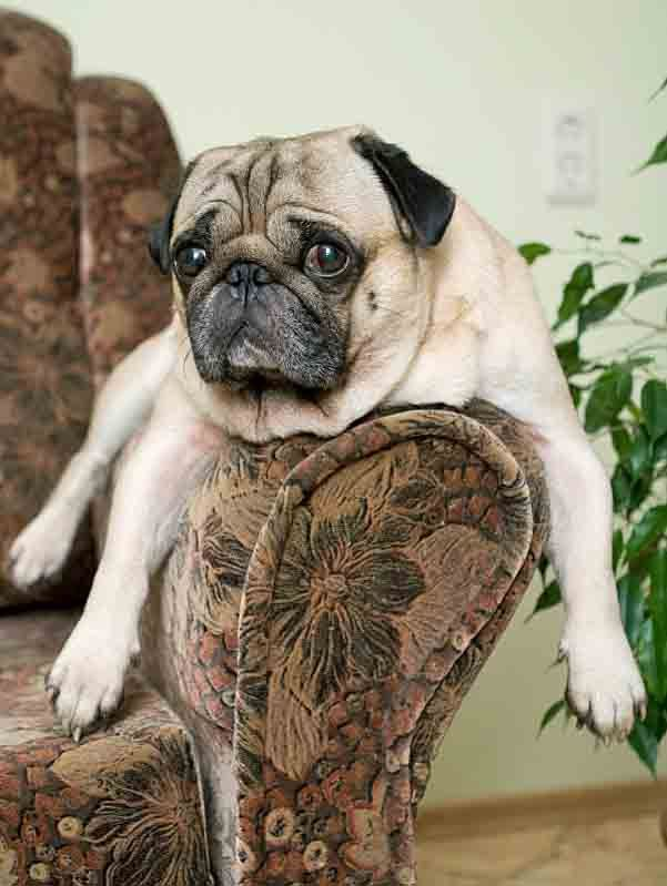 Male Dog Names Top Ideas For The Popular Male Puppy Pug Names