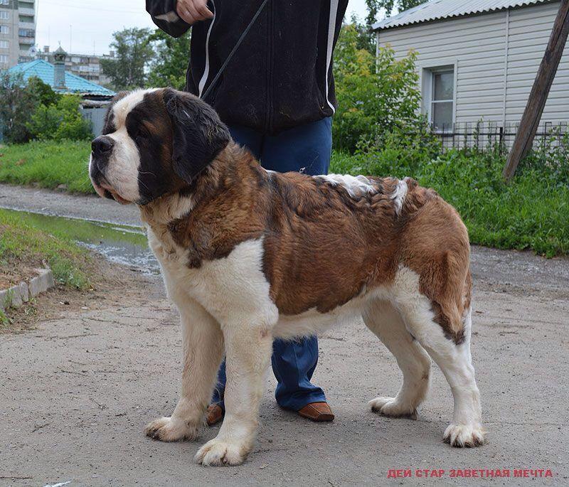 San Bernardo St Bernard Dogs