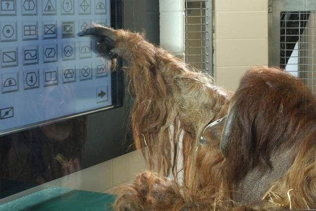 Indianapolis Star Indystar Com Orangutan Indianapolis Zoo Relationship Over